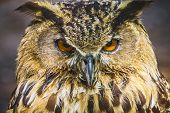 pic of owl eyes  - raptor - JPG