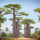 pic of baobab  - Baobab trees and rural road at sunny day - JPG