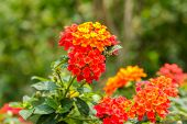 picture of lantana  - Beautiful Colorful Hedge Flower Weeping Lantana Lantana camara Linn in the garden