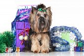 stock photo of yorkshire terrier  - Yorkshire Terrier on a background of Christmas gifts and garlands - JPG
