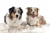 picture of shepherds  - purebred australian shepherd in front of white background - JPG