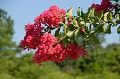 foto of crepe myrtle  - Crepe myrtle tree rural Georgia at someones yard - JPG