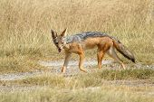 pic of jackal  - A black - JPG