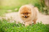 picture of miniature pomeranian spitz puppy  - Small Pomeranian puppy walking in the green grass - JPG