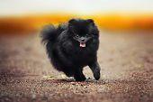 picture of pomeranian  - Black Pomeranian Spitz puppy running at the camera  - JPG