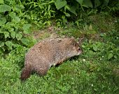 picture of weed  - Woodchuck eating green weeds in the wilderness - JPG