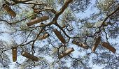 picture of beehive  - Acacia with beehives - JPG