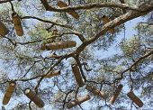 stock photo of beehive  - Acacia with beehives - JPG