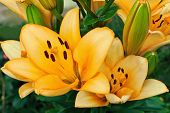 stock photo of stargazer-lilies  - group of yellow lilies in a summer garden - JPG