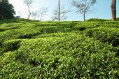 stock photo of darjeeling  - Tea green field in the Darjeeling highlands India - JPG
