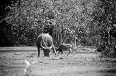 stock photo of carabao  - asia buffalo in grass field at thailand - JPG