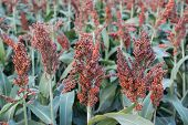stock photo of sorghum  - Close up of brown sorghum in garden - JPG