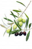 image of olive branch  - olive branch - JPG