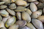 stock photo of clam  - Closeup fresh raw Surf clam backgroundSurf clam Short necked clam Carpet clam Venus shell Baby clam Paphia undulata Veneridae - JPG