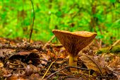 picture of edible mushroom  - edible mushroom shot close - JPG