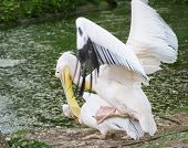stock photo of animals sex reproduction  - pelican have love at the zoo outdoors - JPG
