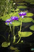 picture of lilly  - Perfect violet Water lilly in the pond - JPG
