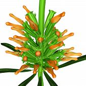 picture of dagga  - Leonotis is a genus of flowering plants in the family Lamiaceae - JPG