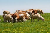 stock photo of pastures  - Brown and white dairy cows in pasture - JPG