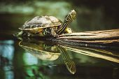 stock photo of terrapin turtle  - young turtle sitting on branch reflection in water - JPG
