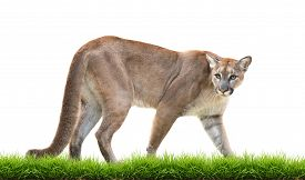 picture of cougar  - puma or cougar with green grass isolated on white background - JPG