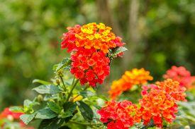 picture of lantana  - Beautiful Colorful Hedge Flower Weeping Lantana Lantana camara Linn in the garden  - JPG