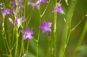 picture of meadows  - meadow of blooming purple bells across the meadow - JPG