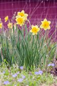 stock photo of daffodils  - Spring daffodils against the background of a red barn - JPG