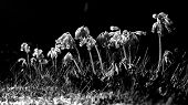 picture of cowslip  - Black and white Cowslip flowers standing in a line with drooping flowers - JPG
