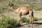 picture of ethiopia  - Arabian camel, animals of Ethiopia, North Africa