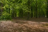 foto of foliage  - Foliage of a beech forest in sunlight in spring  - JPG