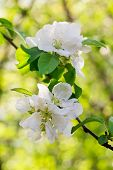 Постер, плакат: Apple Blossoms Over Blurred Nature Background