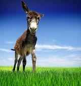foto of donkey  - Funny donkey - JPG