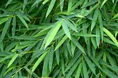 foto of bamboo leaves  - beautiful green bamboo leaves  in a jungle background close - JPG