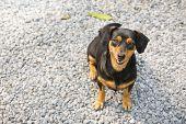 stock photo of dachshund  - Black - JPG