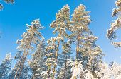 image of fir  - Cold Sunshine Snowy Fir Trees  - JPG