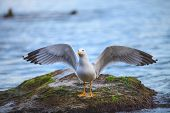picture of spread wings  - seagull wing - JPG