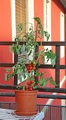 stock photo of tomato plant  - red tomato plant on the terrace of a house in the city - JPG