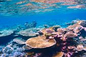 picture of coral reefs  - Coral reef at South Ari Atoll - JPG