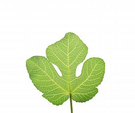 image of adam eve  - Fig leaf the first garment worn by Adam and Eve according to the Old Testament isolated on white - JPG