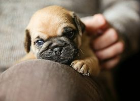 image of chug  - a cute chug pug puppy on a lap being petted looking at the camera  - JPG