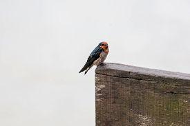 image of swallow  - close - JPG