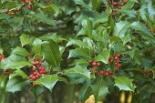 image of aquifolium  - Holly branch  - JPG