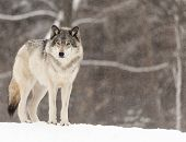 Timber Wolf in a winter scene poster