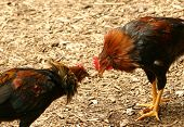 stock photo of fighting-rooster  - two crazy chickens fight over their territory - JPG