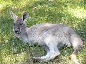 foto of tammar wallaby  - the female red kangaroo is grey in color - JPG