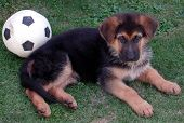picture of alsatian  - German Shepherd Alsatian male puppy with soccer ball - JPG