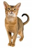 Cat Of Abyssinian Breed