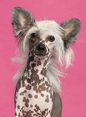 Close-up of Chinese Crested Dog in front of pink background
