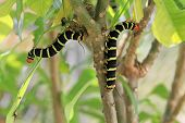 image of hornworms  - Tetrio Sphinx Caterpillar native to Antigua Barbuda in the Caribbean Lesser Antilles West Indies eating a leaf on a frangipani tree - JPG